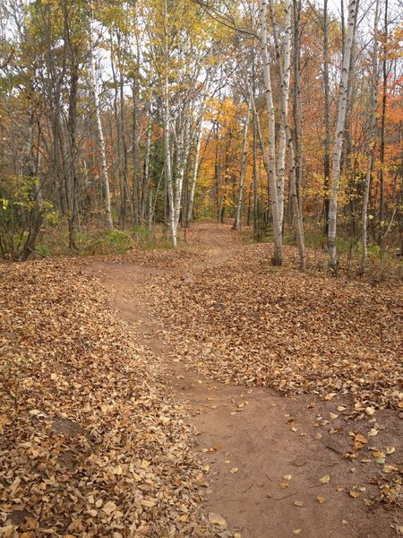 Fall leaves and birches on Sure Would Trail.