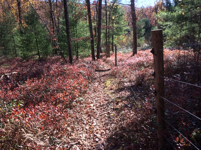 Sea of red undergrowth hugging the deer fence.
