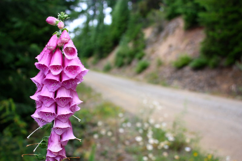 Wild flowers line the gravel road on the grind up.