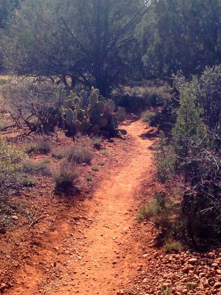 Smooth trail lined with Junipers and cacti in this section.