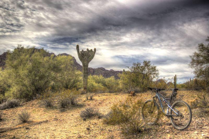 Rare crested saguaro