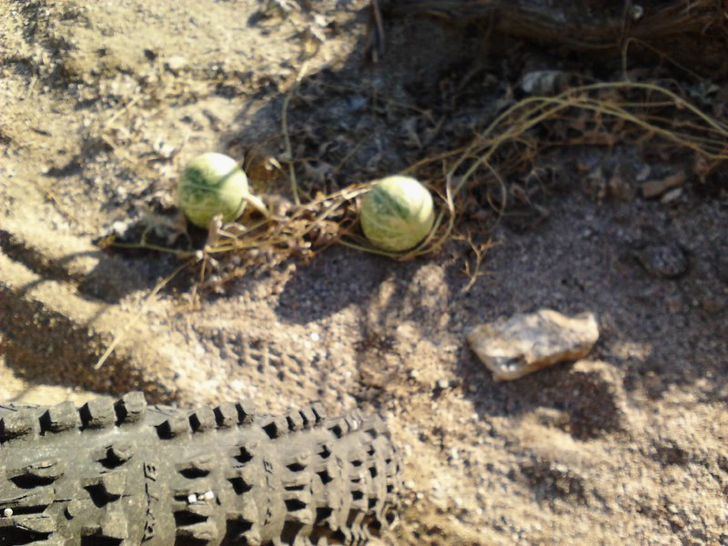 desert melons or a mirage...... you be the judge