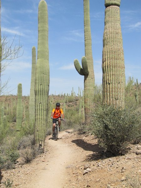 Riding through the forest of Saguaro Cactus