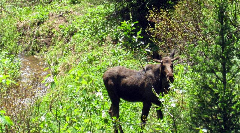Bull moose off trail.