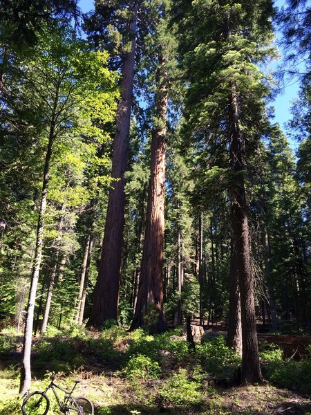 Twin Sequoias I refer to as The Brothers.
