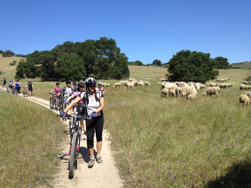 Best not to ride into the many, many sheep