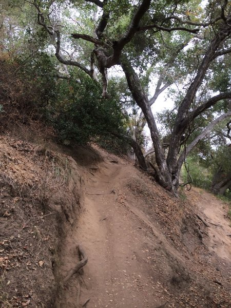 Singletrack through the Oak trees.