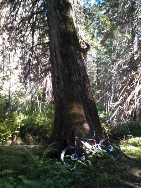Western red cedar hear the base of Piah Creek, Tr 224B.