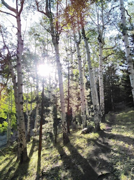 Climbing through aspens on the lower part of the trail