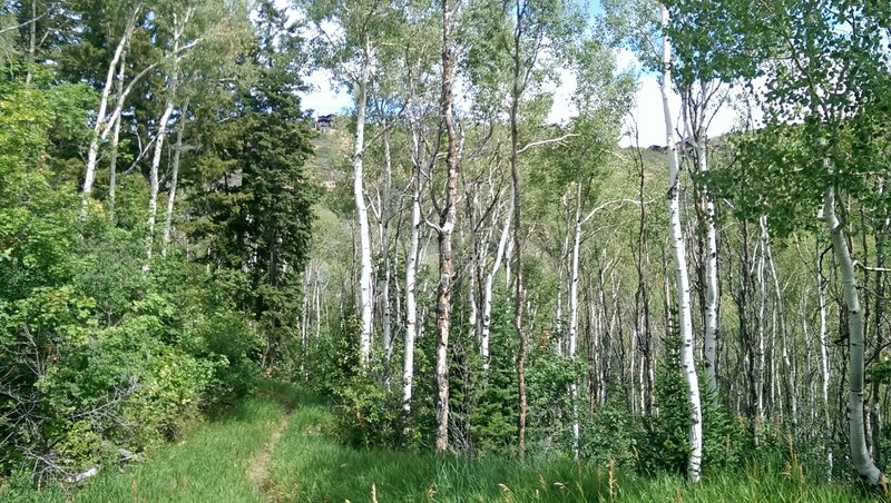 Lovely stretch of trail through mature aspen grove