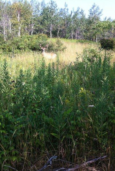 Namesake: a big velvety buck, spotted from Deerslayer!