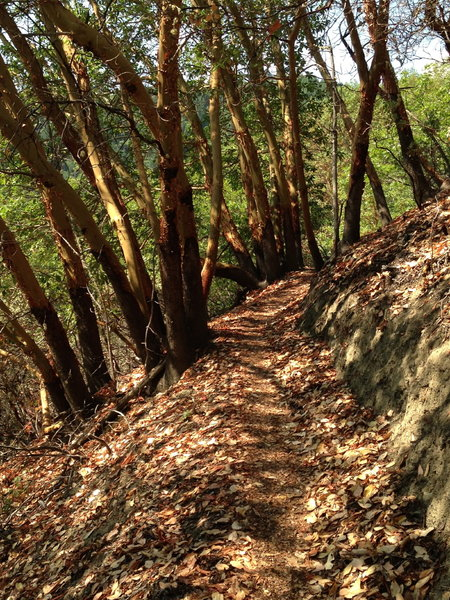 Stellar singletrack through the madrones on Canyon Vista