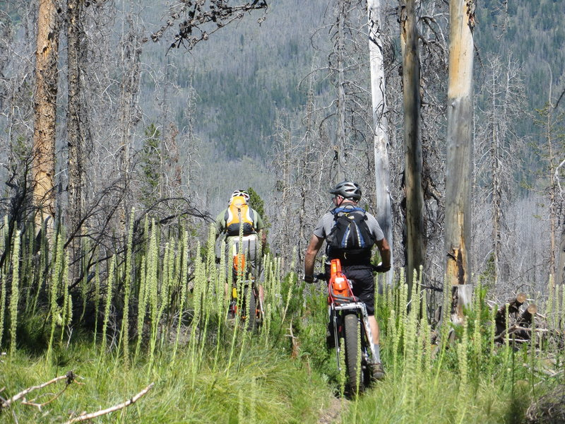 Plenty of trees fall in this old burn.  Chainsaws and fat bikes come in handy.