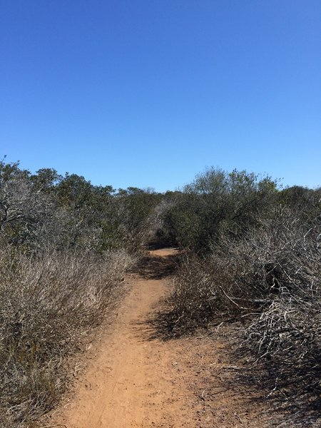 Singletrack through brush on the top of the mesa.