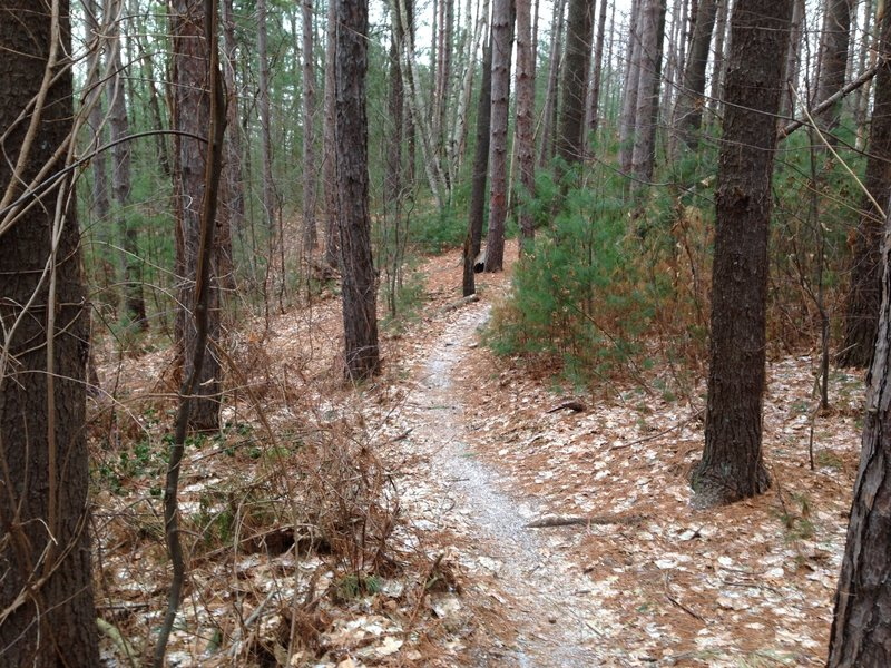Pine Forest after Climb from Roots