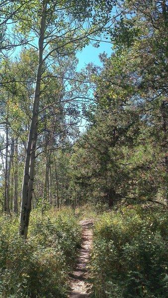 Aspen-lined singletrack on Saints Johns Trail (#9035) north of Keystone