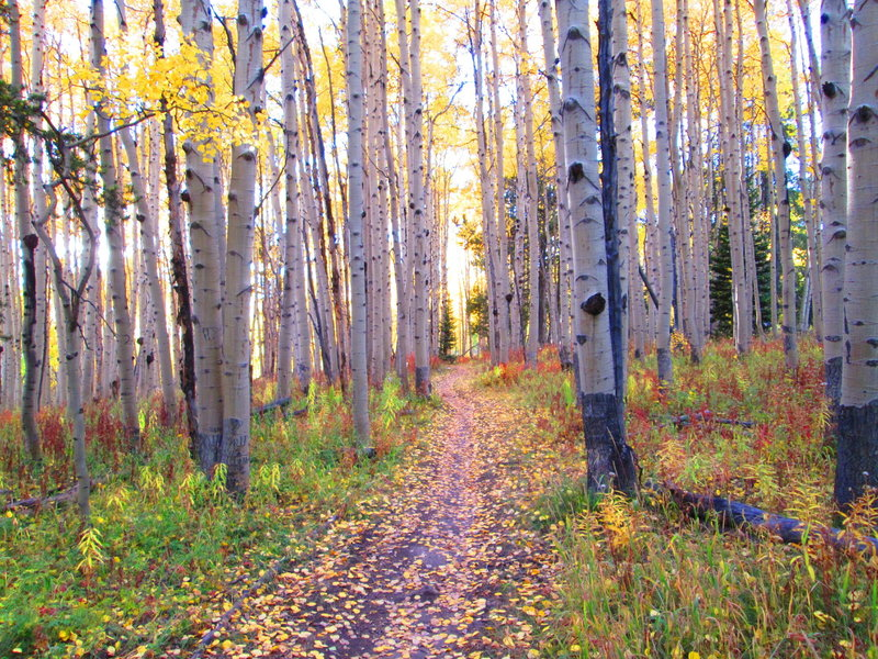 Aspens on Painter Boy