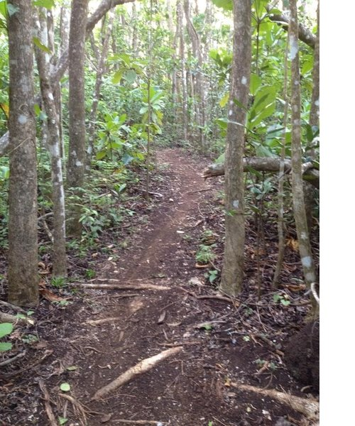 This is the typical type of terrain on Corozal MTB Trail. Dirt with some roots.