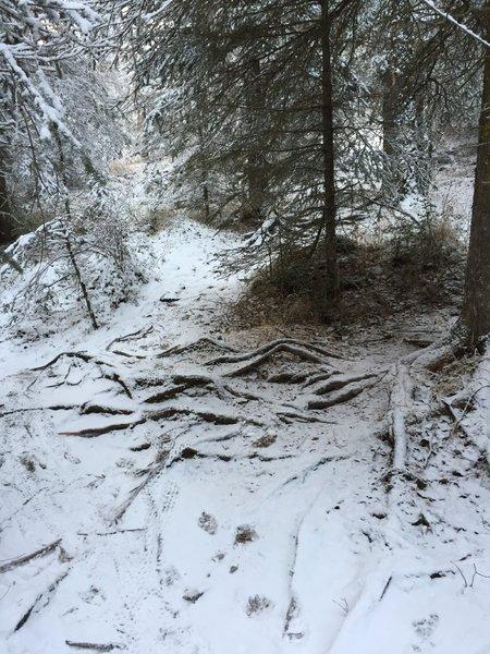 Rooooots on Black Bear Trail