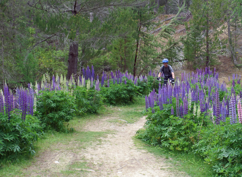 Lovely lupine and easy riding along the Mount Ida Water Race.