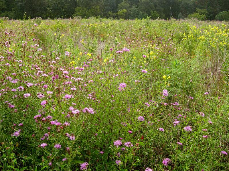 Wildflowers at Six Mile Run