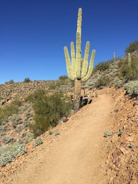 Cactus on Sidewinder...still going up