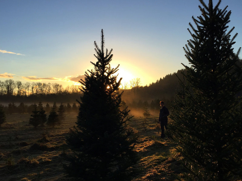 Hunting for a Christmas tree at sunset.