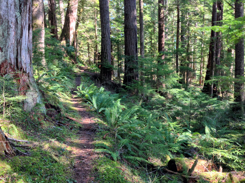 Many sections forest just like this on the Skokomish Lower South Fork Trail