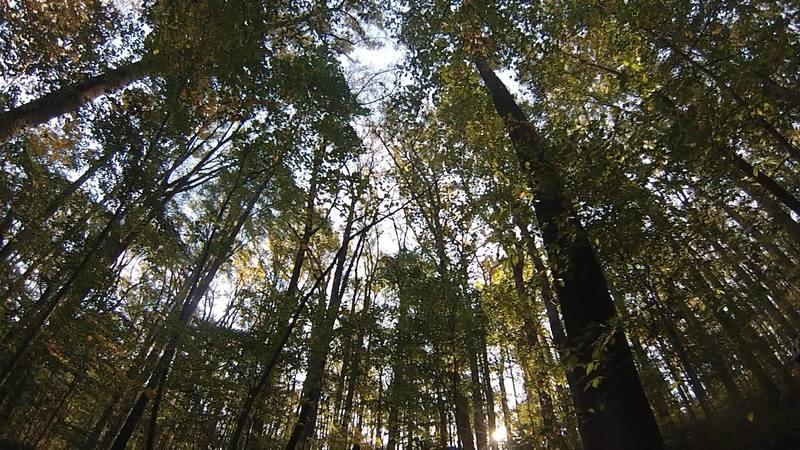 Morning Choice Trees (just a shot up at the trees)