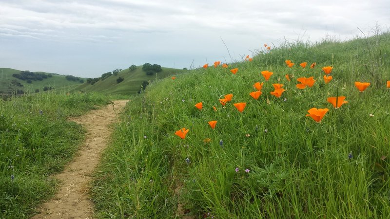 California Golden Poppies on Unfinished Business
