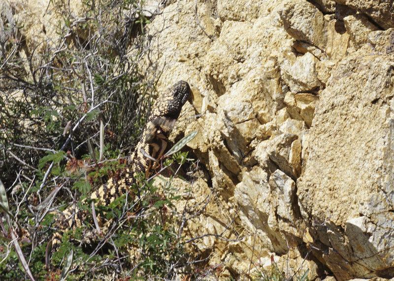 Gila Monster on Ridgeline trail.