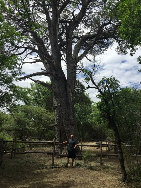 Big Tree, one of the biggest, oldest juniper trees in the United States.