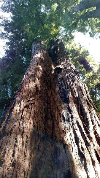 Big redwood trees in the Forest of Nisene Marks