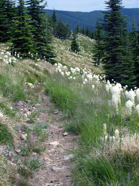 Singletrack through the beargrass.