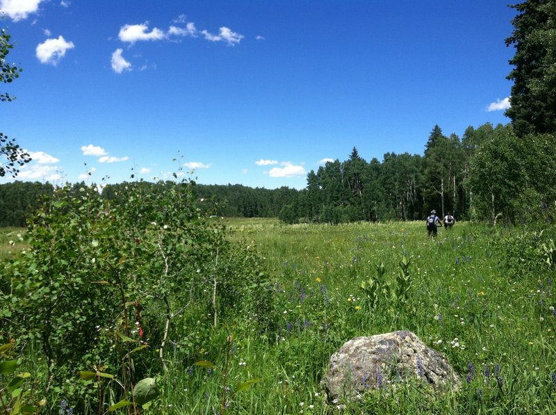 Aspen grove to open meadow and wild flowers, back to another aspen grove.