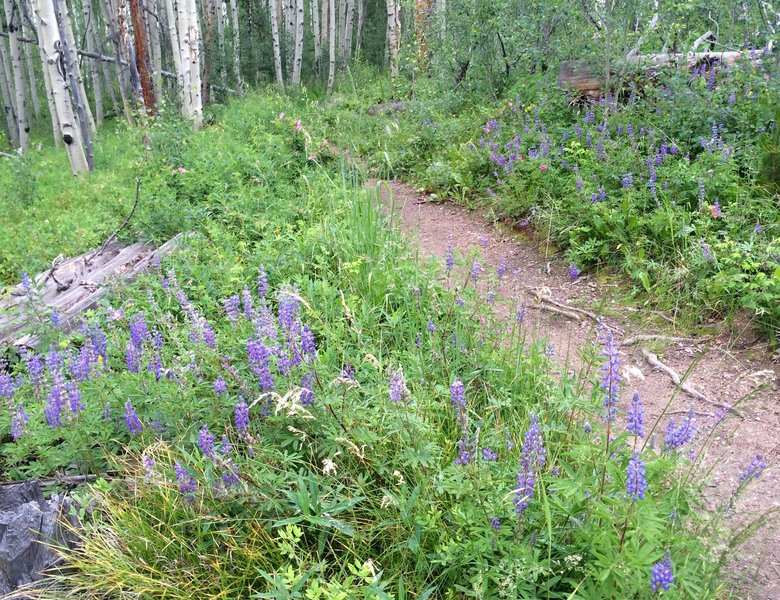 Wild lupine line the trail most of the way to the top.