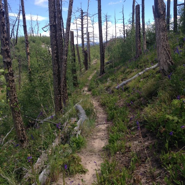 Singletrack through the old burn