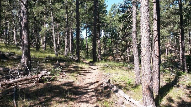 Singletrack through the pine trees.