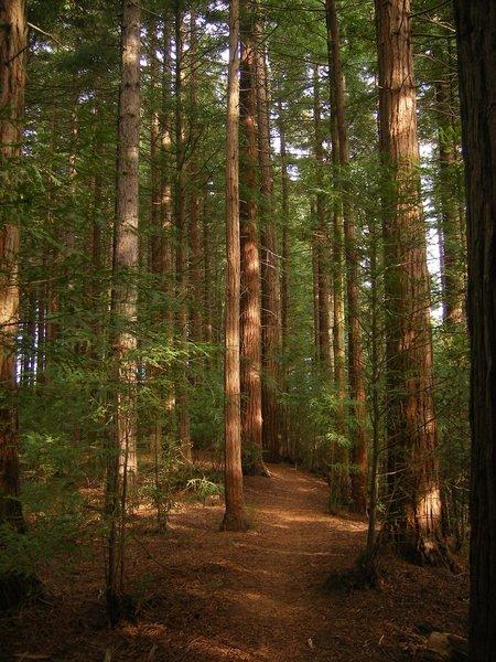 Redwood forests of Rotorua