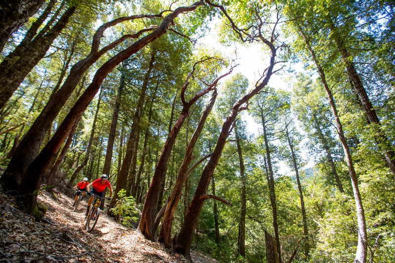 Cruising through madrone trees on the Paradise Royale Loop.