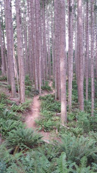 Really great flow in the Douglas fir!