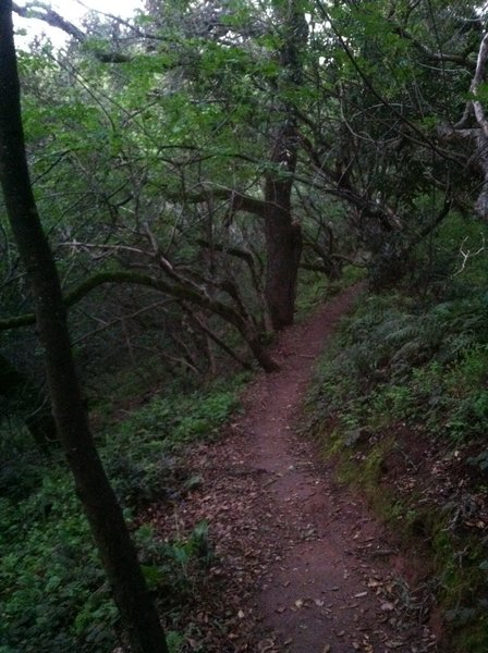 Ohlone trail in the shade of the laurel and oak trees