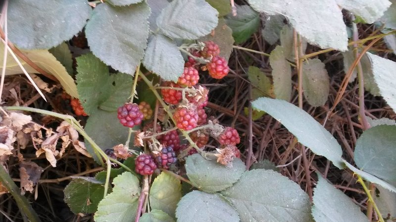 Wild blackberry bushes.
