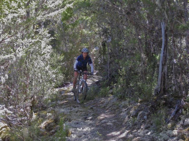 Descending to Waingaro Forks through flowering manuka bush