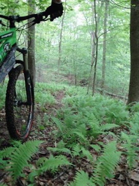 Passing through a nice patch of ferns in the valley on the Jackson Run Trail.