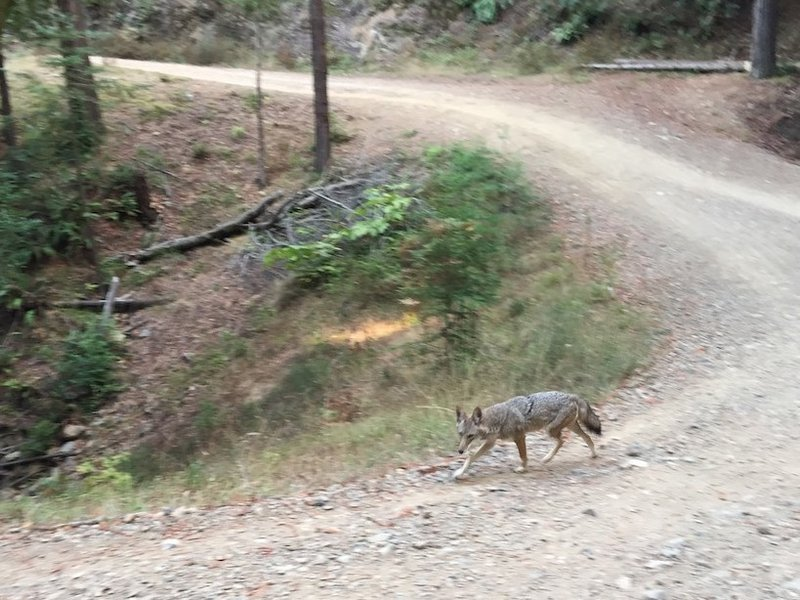 Sharing the trail with a coyote.