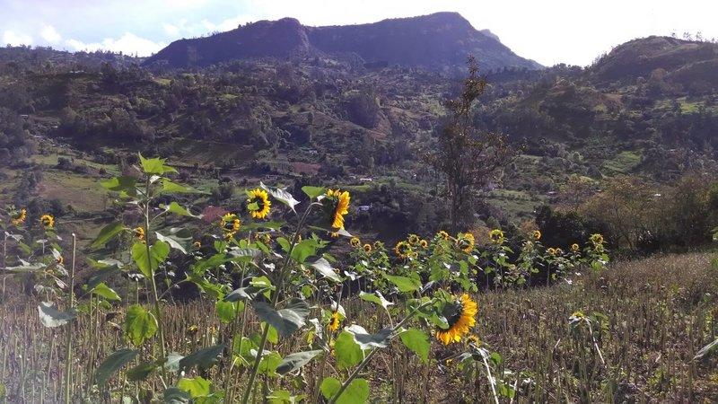 Sunflowers on the hillside.