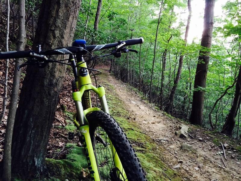 Old trail through mountain laurel.