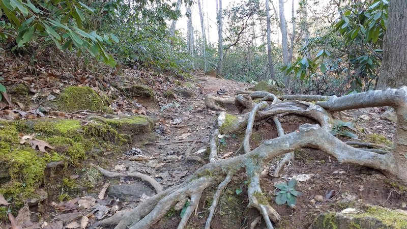 Trail quickly narrows and begins to feature roots and rocks.