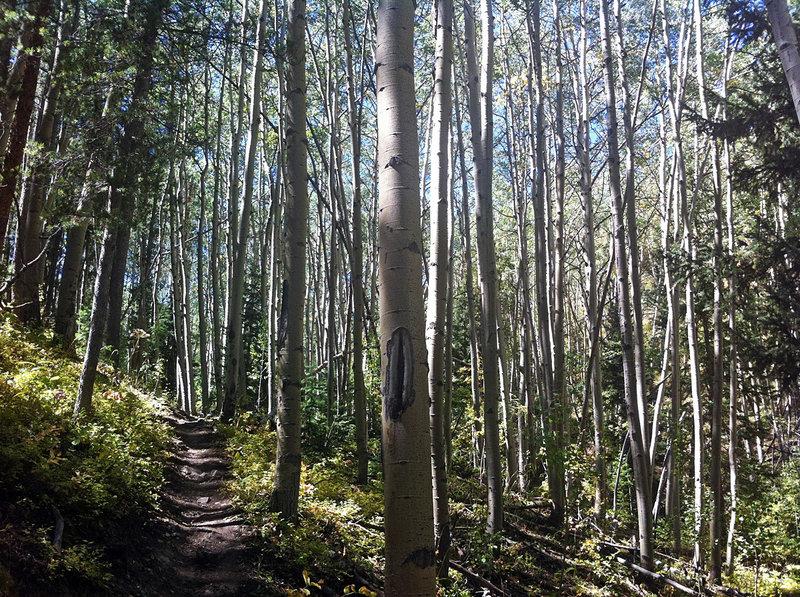 Aspen trees dot the Starvation Creek Trail.